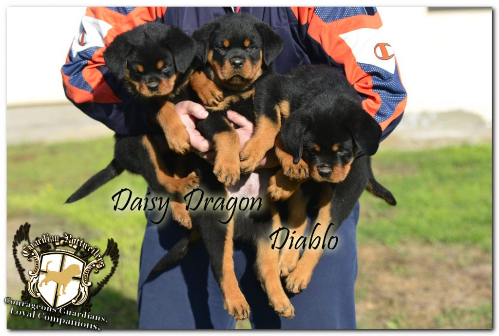 diablo_dragon_daisy01